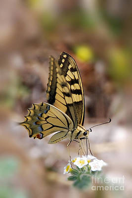Nikki Vig Royalty-Free and Rights-Managed Images - Canadian Tiger Swallowtail by Nikki Vig