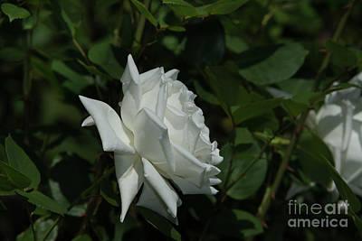 Photograph - Canadian White Star Rose by Glenn Franco Simmons