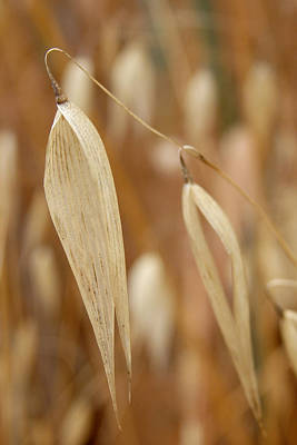 Photograph - Canarian Oat - Closeup Of Dry Avena Canariensis by Elena Schaelike