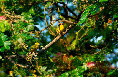 Photograph - Canaries On A Tree by Bibi Rojas