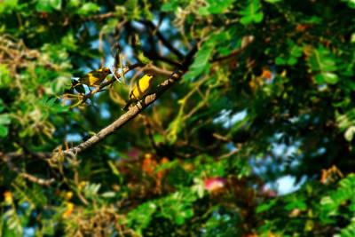 Photograph - Canaries On Tree 2 by Bibi Rojas