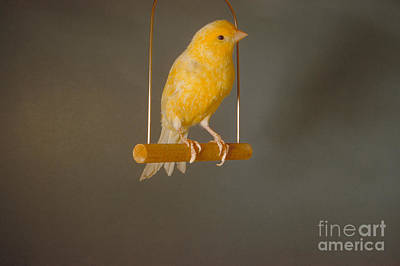 Canary On Swing Art Print by William J. Jahoda