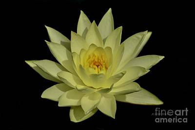 Photograph - Canary Yellow Water Lily by Jeannie Rhode