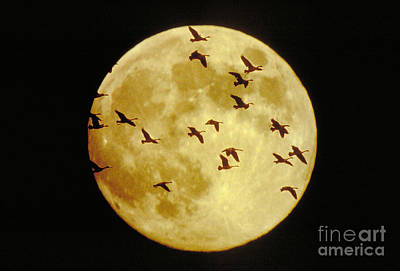 Canda Geese And Moon Art Print by Kenneth Fink and Photo Researchers