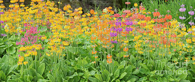 Photograph -  Candelabra Primula Flowers Panoramic by Tim Gainey
