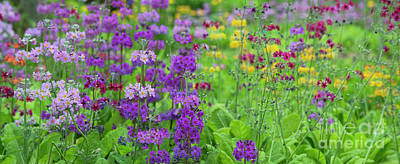 Photograph - Candelabra Primula Panoramic by Tim Gainey