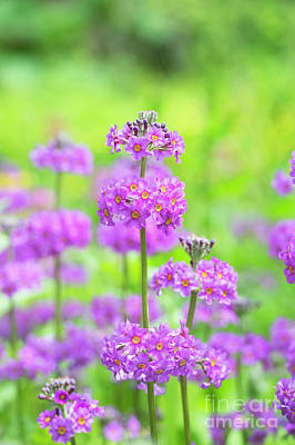 Candelabra Primula Art Print by Tim Gainey