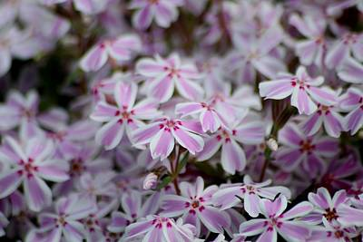 Photograph - Candy Stripe Phlox by Living Color Photography Lorraine Lynch