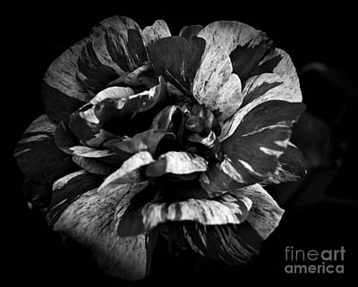 Photograph - Candy Stripe Rose Bw by Chalet Roome-Rigdon