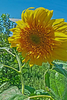 Photograph - Candy Tuft Sunflower by Amanda Smith