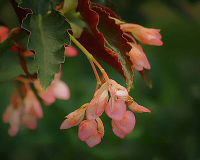 Photograph - Cane Begonia by Nikolyn McDonald