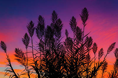 Photograph - Cane Stalks At Sunrise by Steven Green
