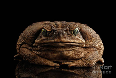 Reptiles Photograph - Cane Toad - Bufo Marinus, Giant Neotropical Or Marine Toad Isolated On Black Background, Front View by Sergey Taran