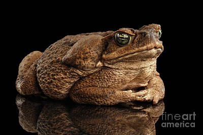 Reptiles Photograph -  Cane Toad - Bufo Marinus, Giant Neotropical Or Marine Toad Isolated On Black Background by Sergey Taran