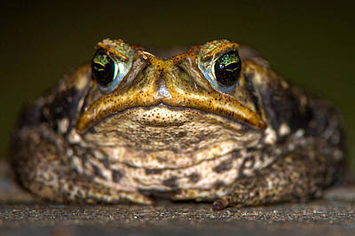 Wetlands Photograph - Cane Toad Rhinella Marina, Pantanal by Panoramic Images