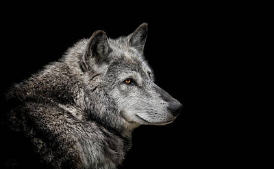 Portraits Royalty-Free and Rights-Managed Images - Canis Lupus by Paul Neville