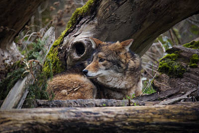 Photograph - Canis Lupus by Randy Hall