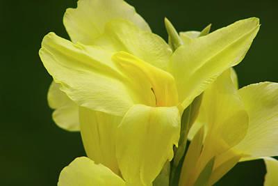 Canna Constoga Lily Original by Mark Michel
