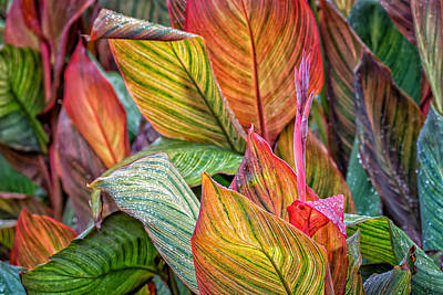 Canna Photograph - Canna by James Barber
