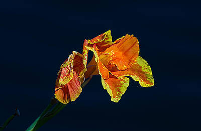 Photograph - Canna by Kenneth Albin