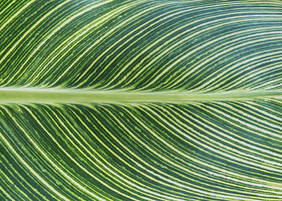 Photograph - Canna Leaf Abstract by Patti Deters