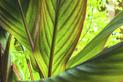 Ira Marcus Royalty-Free and Rights-Managed Images - Canna Leaves by Ira Marcus