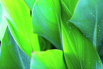 Photograph - Canna Leaves by SR Green