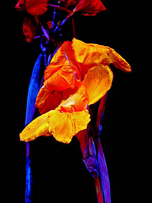 Canna Lilies On Black With Blue Art Print by Mother Nature