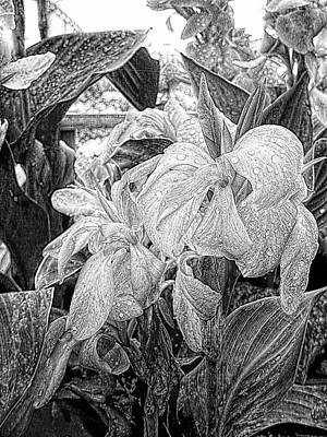 Photograph - Canna Lily Flowers With Water Drops by Dorothy Berry-Lound