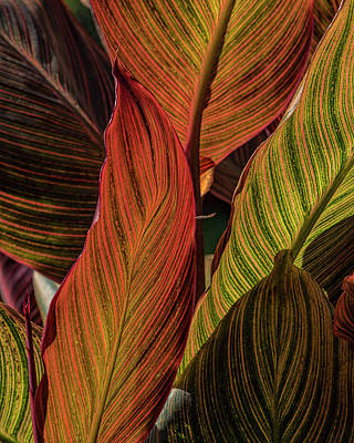 Photograph - Canna Lily Leaf Patterns by Ron Grafe