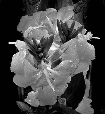 Photograph - Canna Lily With Rain In Black And White by Michele Avanti