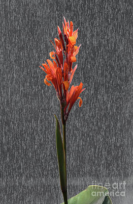 Photograph - Canna On Stone by Tom Wurl