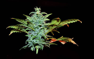 Photograph - Weed by Stuart Harrison