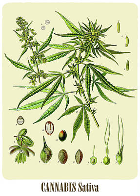 Kush Drawing - Cannabis by Unknown