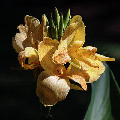 Photograph - Cannas Amarillo Squared by Suzanne Gaff