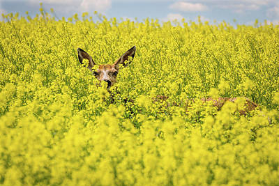 Canola Deer Art Print by Tracy Munson