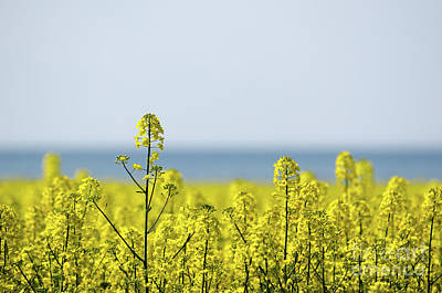 Photograph - Canola Field Closeup by Kennerth and Birgitta Kullman