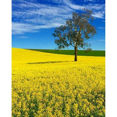 Photograph - Canola Fields Photo By @pauldalsasso by Paul Dal Sasso