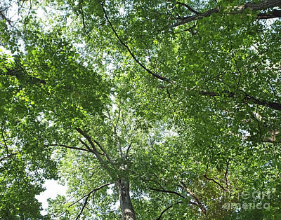 Photograph - Canopy Blue Heron Nature Preserve Atlanta by Lizi Beard-Ward