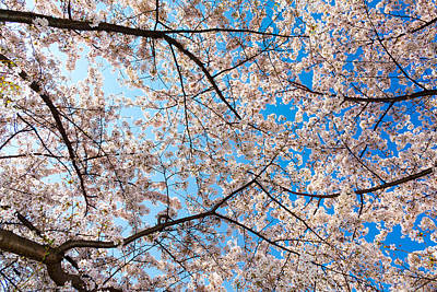 Photograph - Canopy Of Cherry Blossoms by SR Green