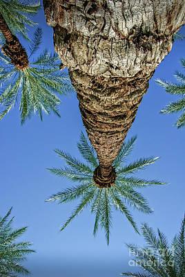 Photograph - Canopy Of Palms Vertical by David Zanzinger