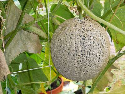 Cantaloupe Painting - Cantaloupe Hanging On Tree 5 by Lanjee Chee