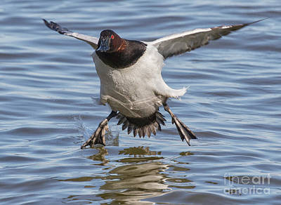 Photograph - Canvasback Stop by Art Cole