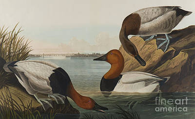 Painting - Canvas Backed Duck, 1836  by John James Audubon
