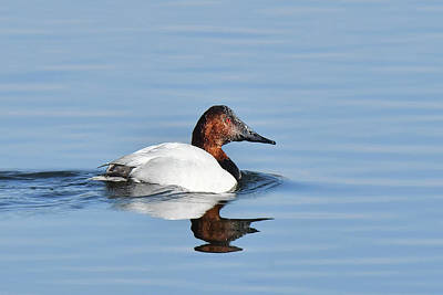 Photograph - Canvasback Duck by Alan Lenk