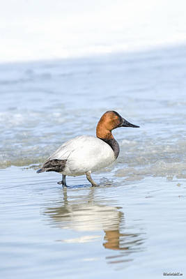 Photograph - Canvasback Duck Right by LeeAnn McLaneGoetz McLaneGoetzStudioLLCcom