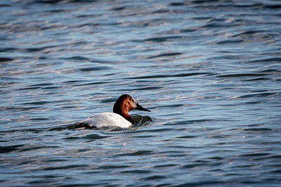 Photograph - Canvasback by Gary Hall