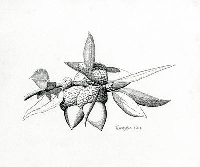 Drawing - Canyon Live Oak Acorns by Timothy Livingston