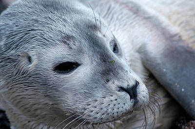 Photograph - Cape Ann Seal by Mike Martin