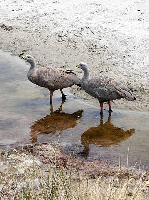 Photograph - Cape Baron Geese On Maria Island by Lexa Harpell